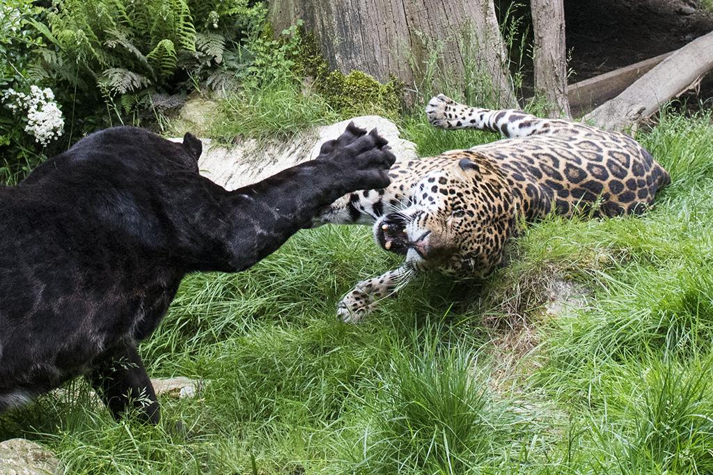 Leoparden kämpfen